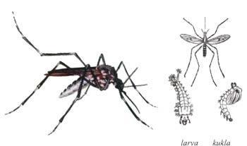 Komár obtížný